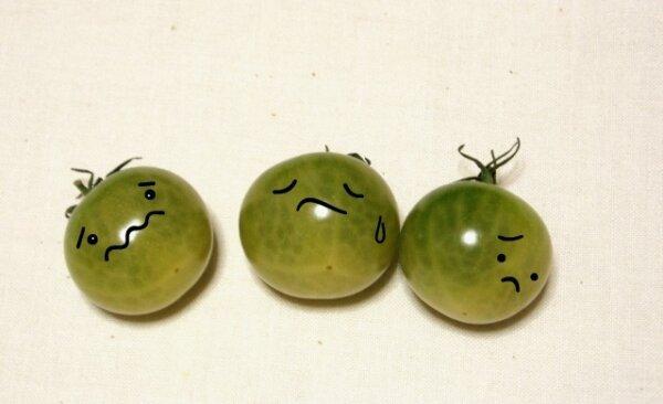 まだ熟していない三つのトマト